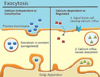 What is the process involve in exocytosis? - Quora  What is the pro...