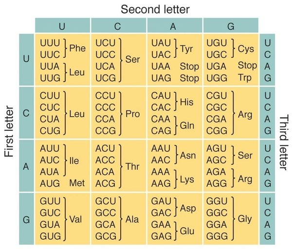 The top loop of a tRNA has the anticodon UCA. Which codon will it ...