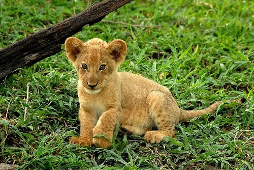 Cute Lion Babies In Open Environment Picture