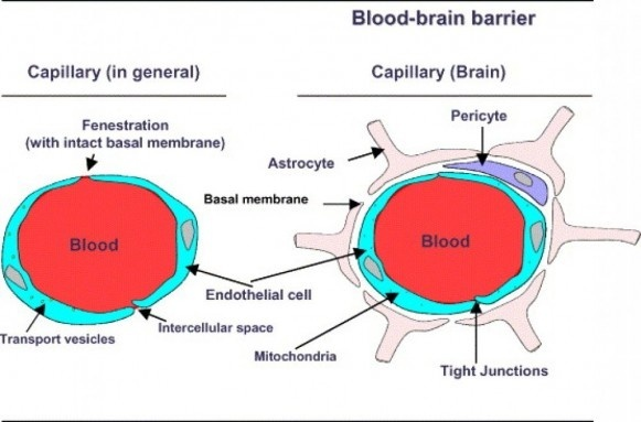 What is the mechanism which allows drugs to pass across the blood non polar drugs are lipophilic which means they cross the blood brain barrier by diffusing through the lipid membranes of the endothelial cells option b ccuart Gallery