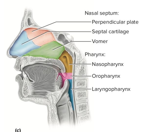 Does The Epiglottis Lie Between The Oropharynx And Laryngopharynx