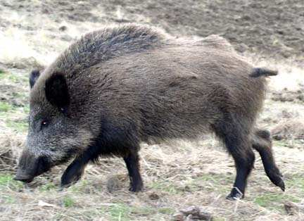 Do domesticated pigs revert into wild boars when they are released ...