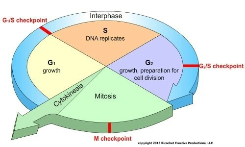 Cycle Interphase Diagram Block And Schematic Diagrams
