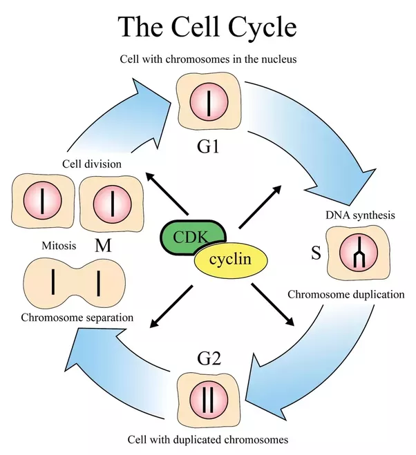How does the cell cycle play a role in cancer quora the cell cycle is regulated by proteins that are outside the cell as well as inside these proteins are either known as external regulators or internal ccuart Choice Image