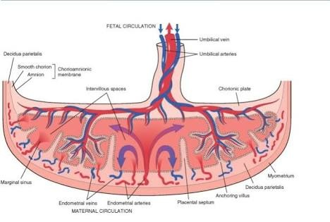 What Is The Structure And Function Of Placenta In A Human Female