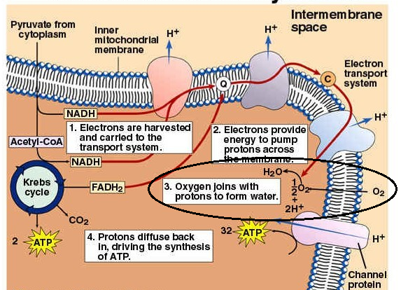 How Many Atp Molecules Are Produced With One Oxygen