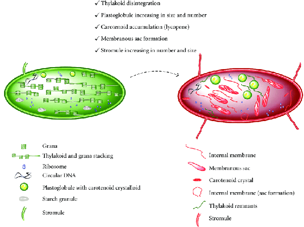 Chloroplast diagram labels carotenoids complete wiring diagrams do chloroplasts transform into chromoplasts quora rh quora com chloroplast plant cell diagram parts of the chloroplast diagram ccuart Images