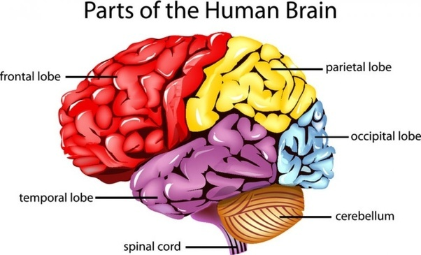 Brain diagram cut in half auto wiring diagram today can someone split their brain in half and survive what would happen rh quora com brain ccuart Image collections