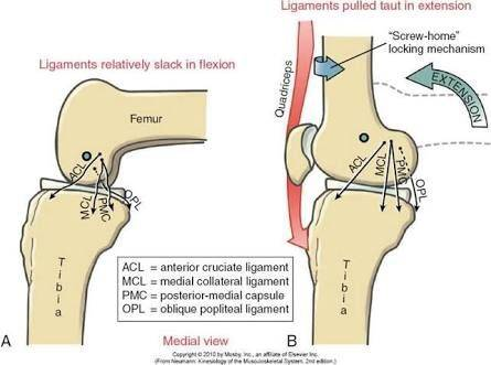 Is the knee a modified hinge joint? Why or why not? - Quora Hinge Joint Knee