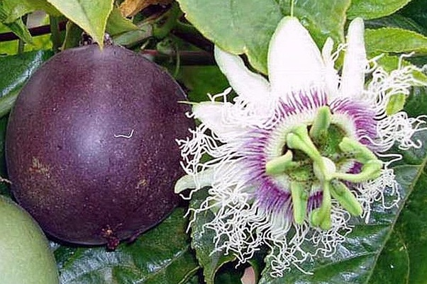 Are Passion Fruits And Passion Flowers The Same Quora