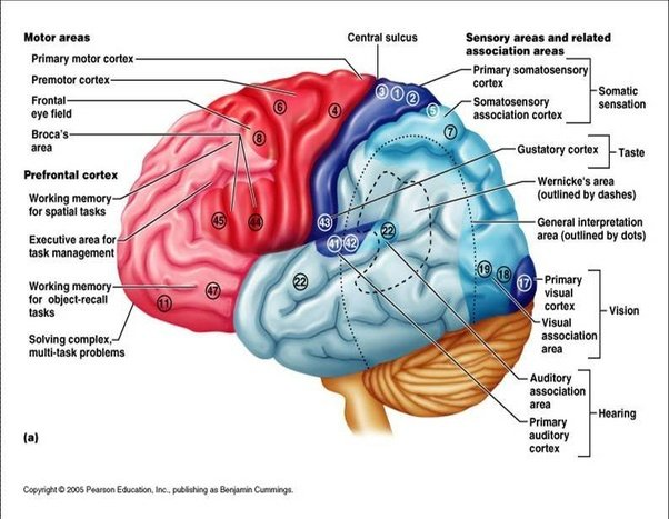 the personality changes during the brain trauma A person's personality can undergo significant changes after an injury to the frontal lobes, especially when both lobes are involved there are some differences in the left versus right frontal lobes in this area.
