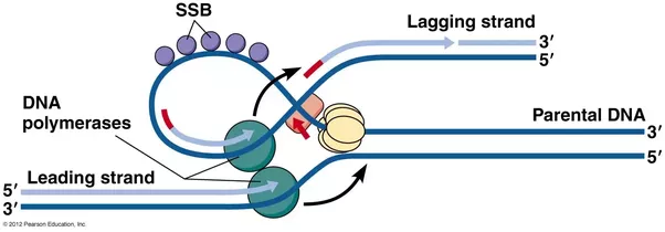 Why does the lagging strand of dna have to be discontinuous quora template strand is looped out so that dna polymerase can work on it in the proper direction a segment at time as it comes out of the replication fork maxwellsz
