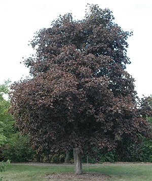 What Maple Tree Has Dark Red Purple Leaves Year Round Quora