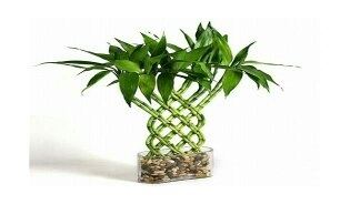 How to care for lucky bamboo plants - Quora