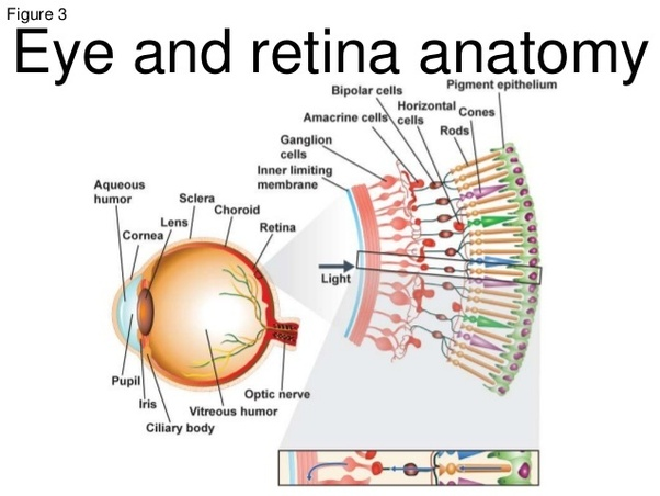 What are the primary evolutionary flaws of the human eye quora this is what gives our eyes a blind spot in the diagram below the blind spot is the place where the optic nerve exits the eye ccuart Images