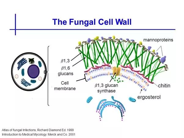 fungi cell diagram gallery