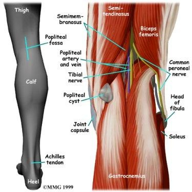 Where Is The Vein Located In The Back Of The Knee Quora