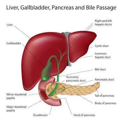Does gall bladder make bile quora as you can see above the gall bladder in green lies below and behind the liver ccuart Image collections