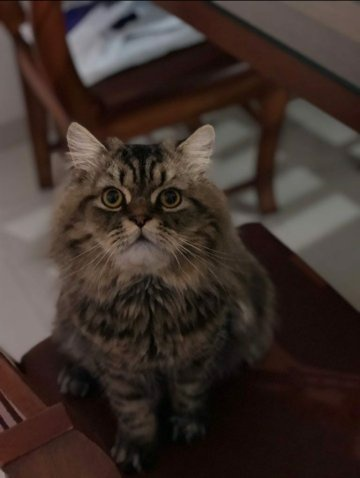 Where Can I Get A Maine Coon Kitten Cat In Bangalore I Prefer Adopting From The Owners Who Can T Take Care Of Them Anymore Quora