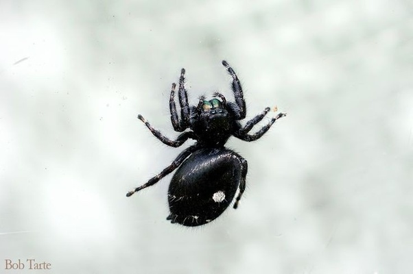 What kind of spider is black with one white circle on its
