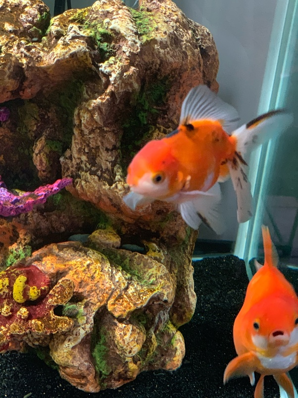 What is your favorite variety of fancy goldfish? - Quora