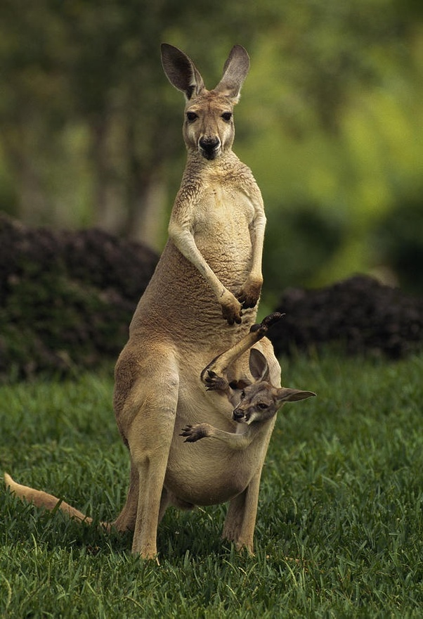 What is the national animal of Australia? - Quora