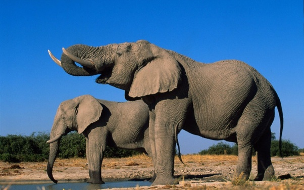 what are the different types of elephants quora