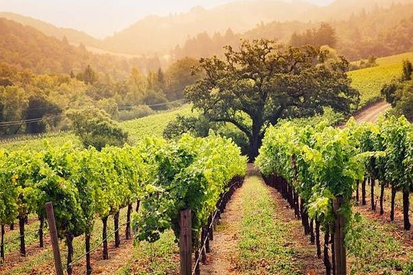 Wine what is the difference between a vineyard and a - Difference between wine grapes and table grapes ...