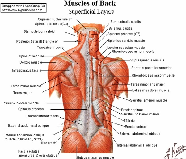 What are the back muscles called? - Quora