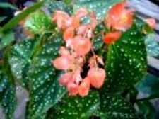 What is a house plant with the cluster of small pink flowers and answer wiki mightylinksfo