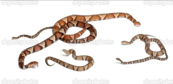 How To Identify A Baby Copperhead Snake Quora