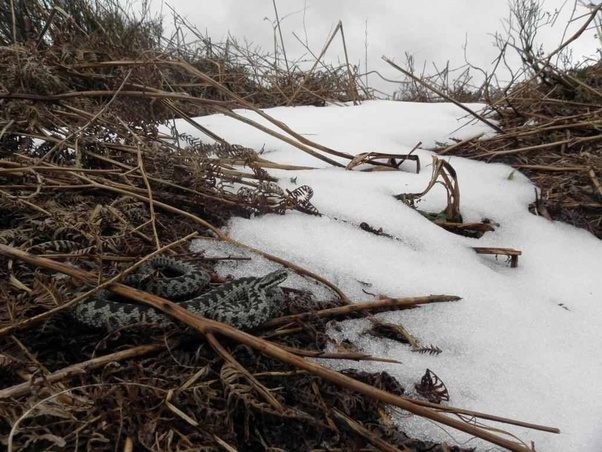 Reptiles Do Snakes Ever Go Out In The Snow Quora
