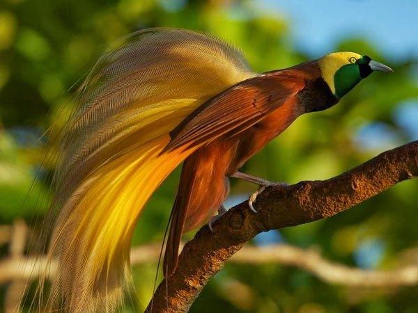 what are birds of paradise quora
