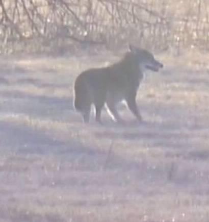 Wird ein Kojote einen Hund essen?  Warum oder warum nicht?