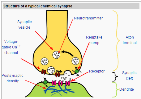 Are Neurotransmitters Released By Synaptic Vesicles Into The Cleft