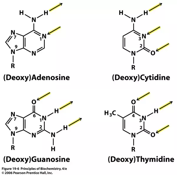Why Are There Two Hydrogen Bonds Between Adenine And Thymine But