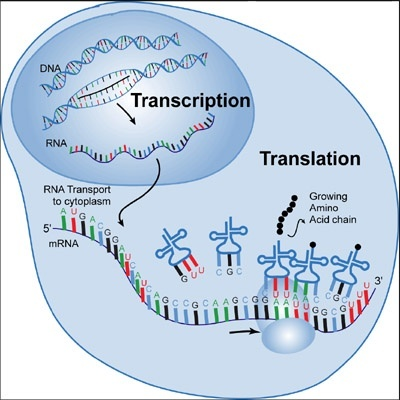 What is transcription and how is it used in genetics quora somewhere there exist master blueprints and plans for every aspect of that building electrical diagrams ccuart Gallery