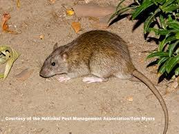 Did Rats Or Mice Species Lived In Prehispanic America Quora
