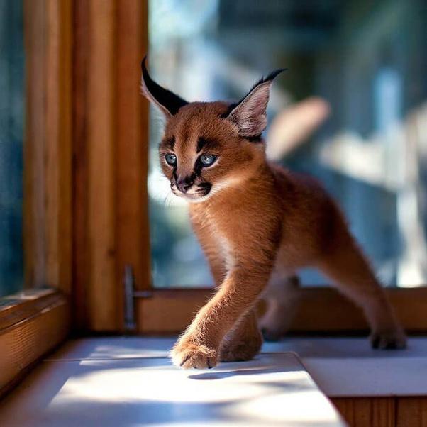 Apa Ras Kucing Paling Indah Dari Seluruh Jenis Kucing Quora