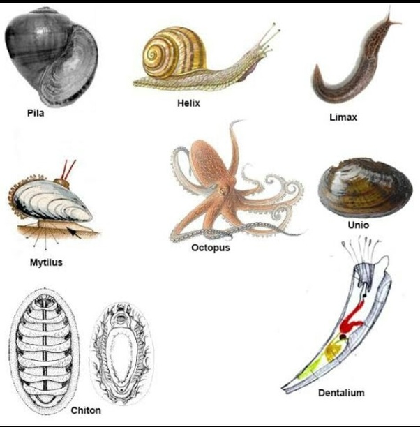 What Are Some Examples Of Phylum Mollusca Quora