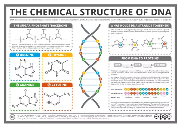 What is the chemical makeup of dna quora it is made up of molecules called nucleotides each nucleotide contains a phosphate group a sugar group and a nitrogen base ccuart Image collections