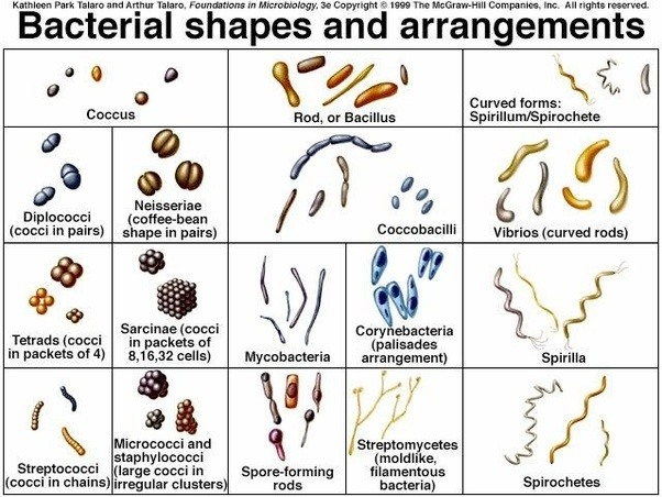 What Are The Various Shapes Of Bacteria?