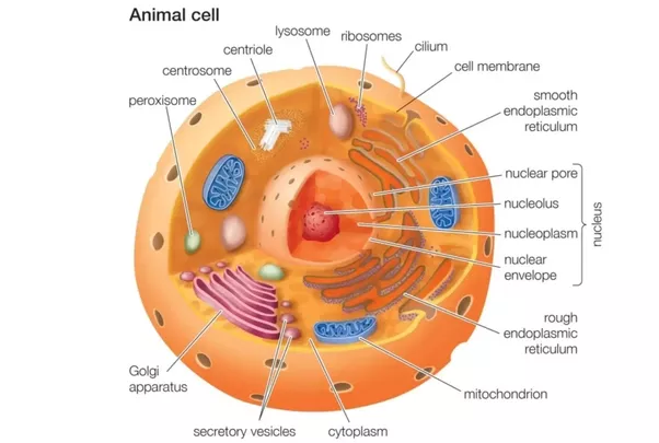 What are the parts of an animal cell and its functions quora part of the things that sets animal cells apart from plant cells are as follows ccuart Images