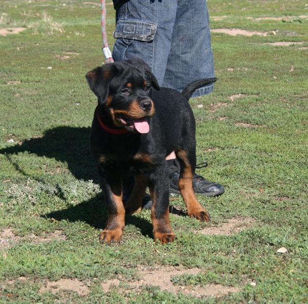 Month Old Rottweiler Look So Small