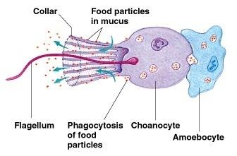 Amoebocytes