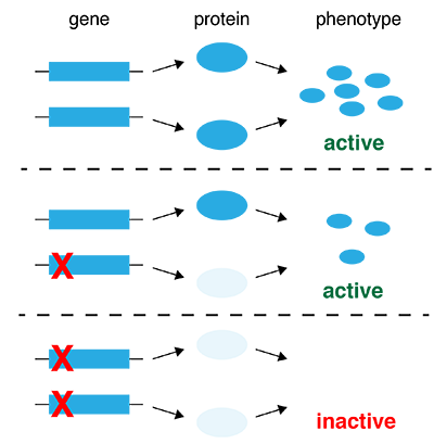 What Makes A Gene Dominant Co Dominant Or Recessive Quora