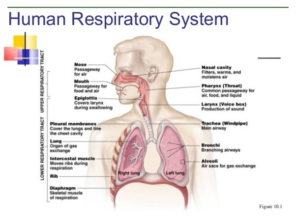 What are the four organs in the respiratory system? - Quora