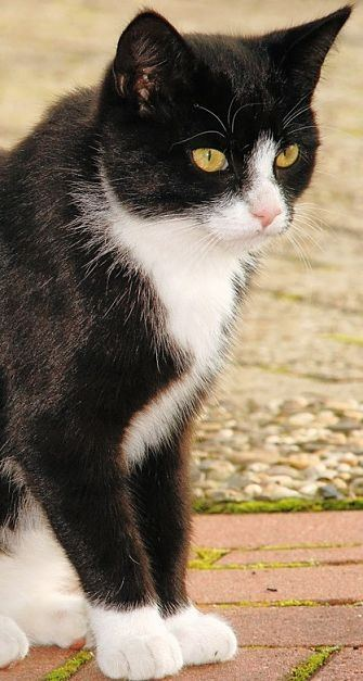 What Are The Characteristics Of A Tuxedo Cat Quora
