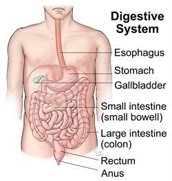 What are the the major organs of the digestive system and their to help you understand how the many parts of the digestive system work together here is an overview of the structure and function of this complex system ccuart Images