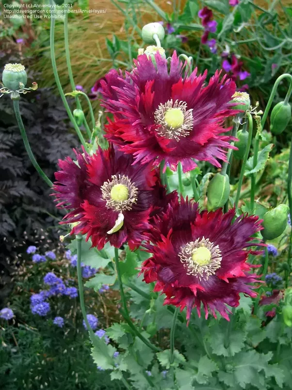 Do all poppy plants contain opium if not which ones dont quora next is drama queen mightylinksfo Image collections